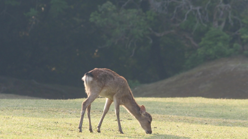 Cute fawn shedding winter coat grazing on the meadow at Nara park | Shutterstock HD Video #1071129814