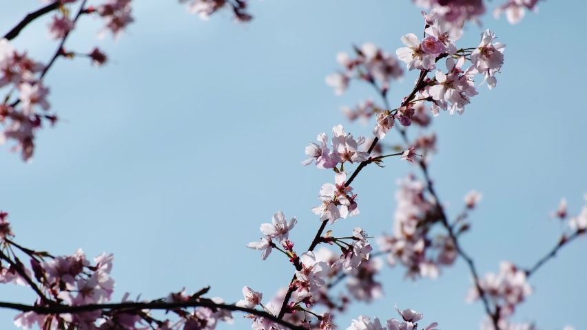 Kawazu cherry tree branches full of with beautiful pink blossoms with light blue sky. Close up video of flowers from the rose family, native to Japan. It signals the arrival of spring. Sunny daytime | Shutterstock HD Video #1071130684