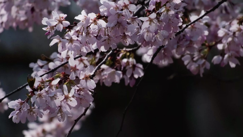 Kawazu cherry tree branch full of with beautiful pink blossoms. Close up video of flowers from the rose family, native to Japan. It signals the arrival of spring. Cinematic 4k video with bokeh. | Shutterstock HD Video #1071133171