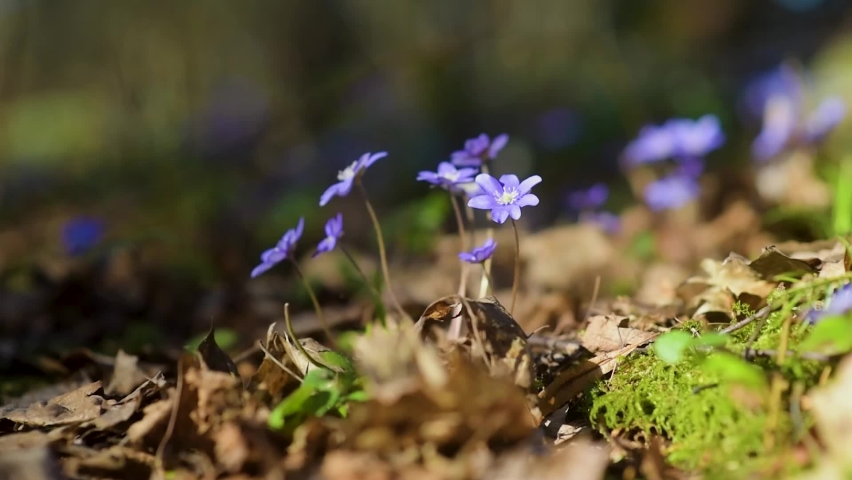 Blossoming hepatica flower in early spring in forest. Beauty in nature. | Shutterstock HD Video #1071135802