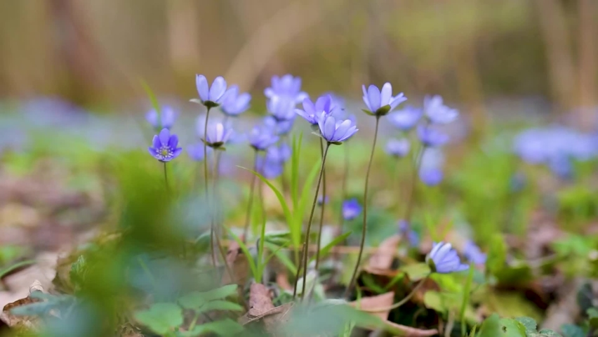 Blossoming hepatica flower in early spring in forest. Beauty in nature. | Shutterstock HD Video #1071135814