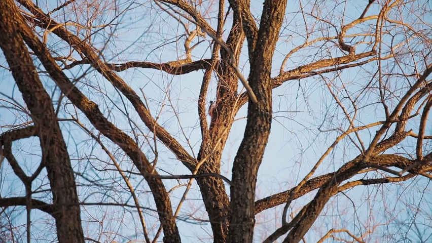 In early spring, when the trees are still leafless, the stubborn woodpecker sits on a branch and taps its beak on the tree trunk, trying to build a cozy home for itself and its future family. | Shutterstock HD Video #1071135844