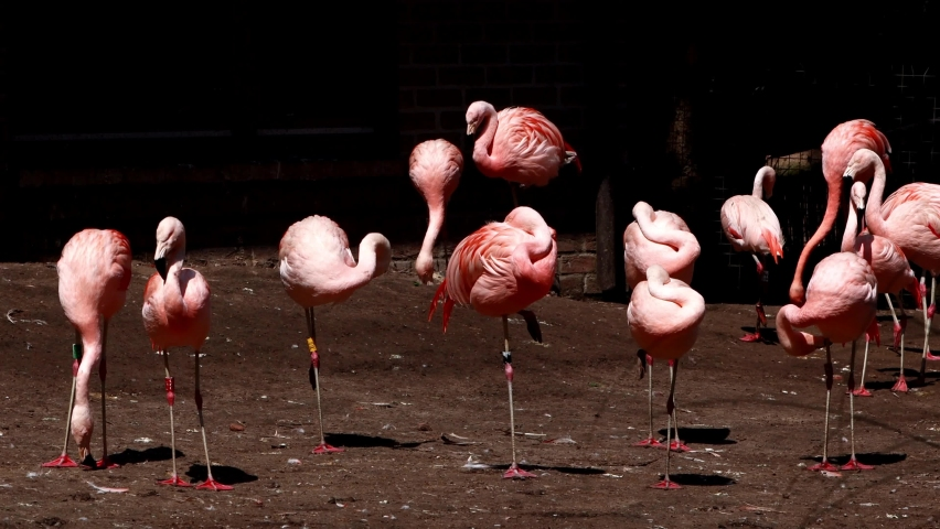 Pink Chile Flamingos, Phoenicopterus Chilensis  | Shutterstock HD Video #1071136099