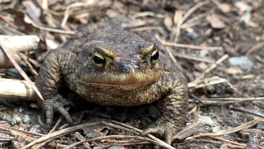 Big frog in the forest, close-up. A swamp toad sits and breathes. Huge brown amphibian (bufonidae). Wildlife in the spring. | Shutterstock HD Video #1071136264