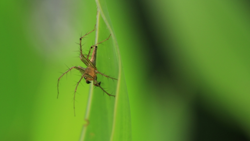 Striped lynx spider with thorny legs standing still on the edge of fresh green leaf, motion blur. | Shutterstock HD Video #1071137587