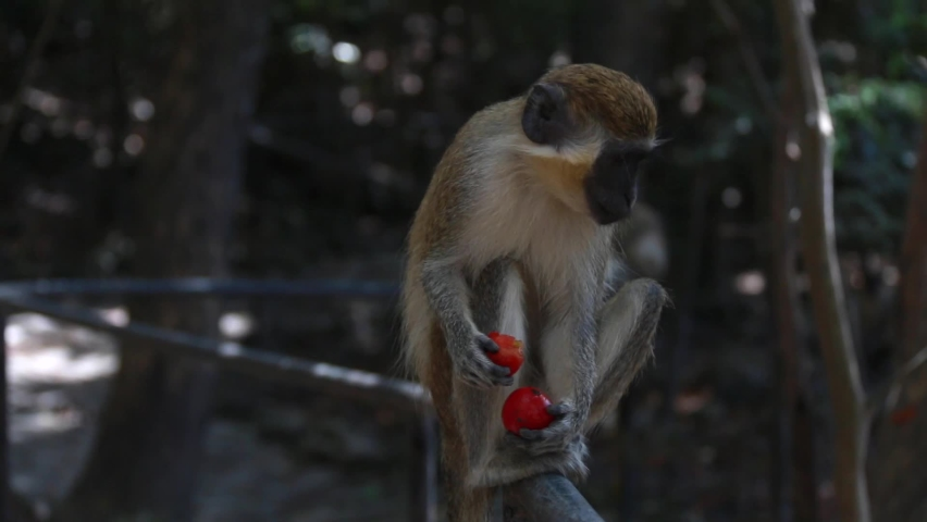 Green monkey -  Chlorocebus sabaeus - sitting on fence railing and holding a red cherry tomato. Soft-focus, monkeys in the background eating their lunch. Barbados Wildlife Reserve, Caribbean.   Shutterstock HD Video #1071138265