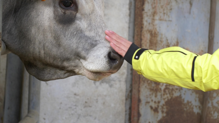 Woman's hand caresses the bull and he licks her hand. Slow motion 4K | Shutterstock HD Video #1071138529