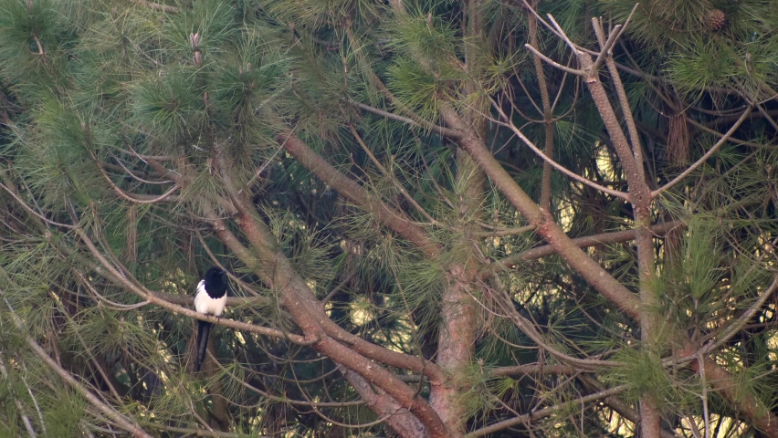Black white magpie on the pine tree branch of pine. Slow motion 4K | Shutterstock HD Video #1071138667