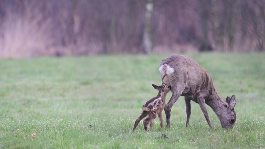 Roe deer mother with a drinking cute fawn on the meadow in the middle of april, spring, (capreolus capreolus), germany | Shutterstock HD Video #1071142876
