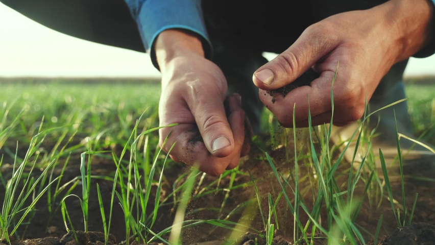 Farmer hand. man farmer working in the field inspects the crop wheat germ natural a farming. business agriculture harvesting concept. farmer hand touches green crop wheat germ agriculture industry | Shutterstock HD Video #1071348337