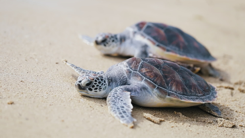 Two Sea turtles crawling baby on the white sand beach toward sea at Hawaii,Australia.Asia.Natural sunny on summer day.Beautiful baby turtles crossing the beach at sunlight.Close Up. Covid-19 no body .