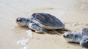 Beautiful Sea turtles crawling on white sand beach toward sea sunset on summer.Two baby turtles wild sea animal in famous islands.Hawaii.Video Close-up.no people,outdoor.blue sea and sky