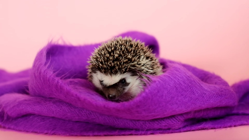Hedgehog baby. Little hedgehogs in a purple scarf on a pink background.African pygmy hedgehog close-up