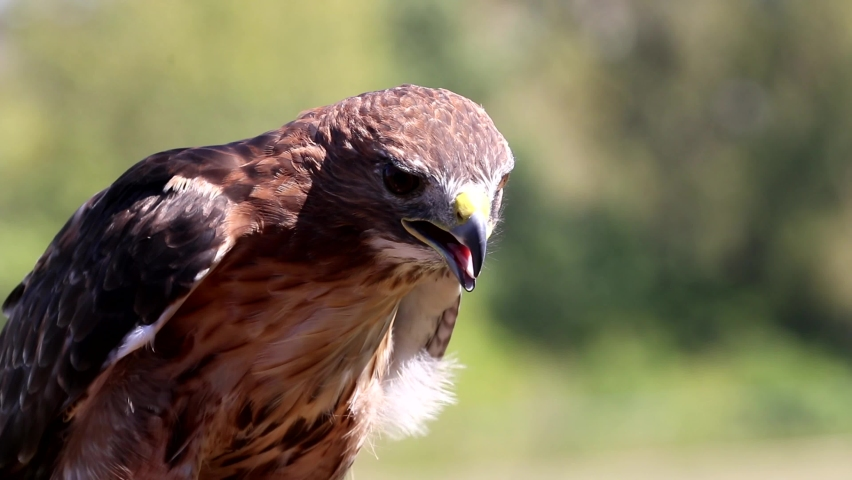 Red tailed hawk at falconry demonstration outdoors