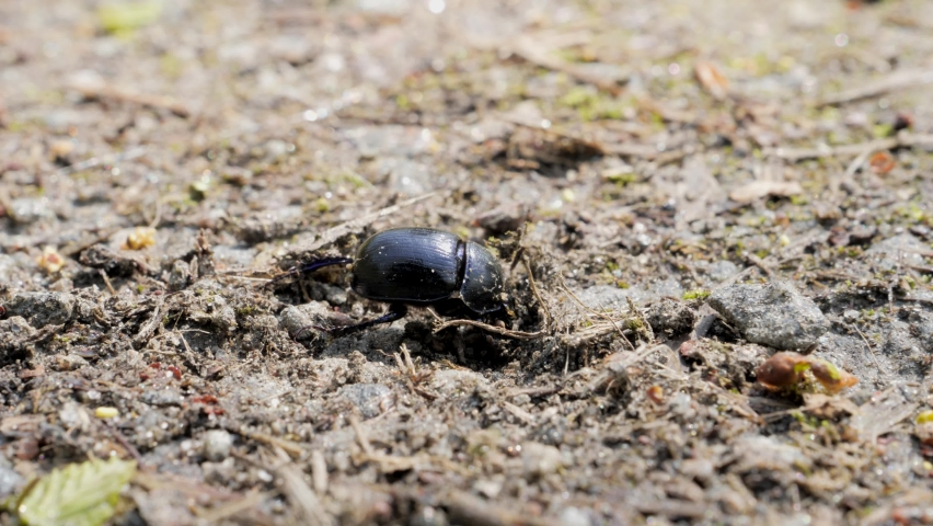 A beetle digs in the ground, shallow depth of field. Geotrupidae or commonly called earth-boring dung beetle | Shutterstock HD Video #1072962206