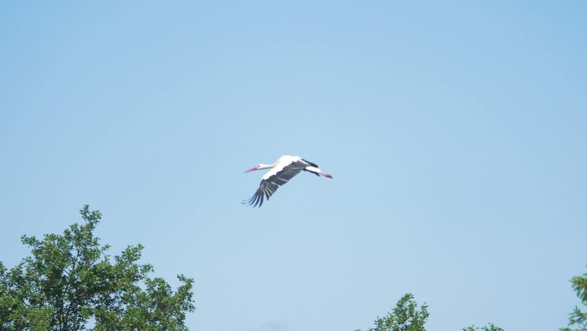 Stork flight over the land in 4k