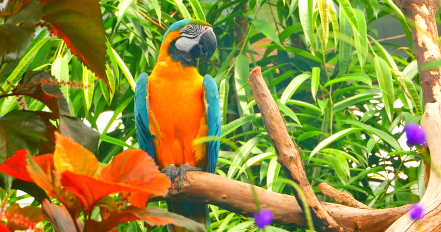 4k Parrot Close Up, Jungle Stock Footage Video (100% ...