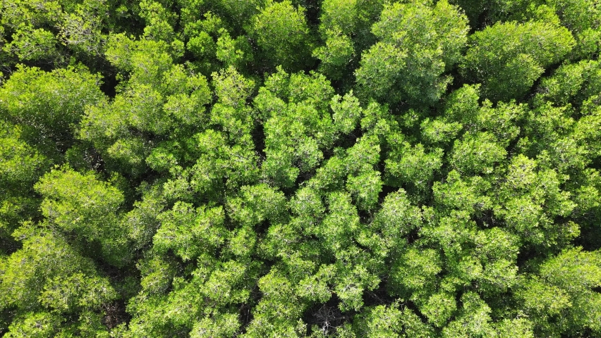 Mangrove forest aerial top view. Drone rise up  above texture in nature | Shutterstock HD Video #1073672567