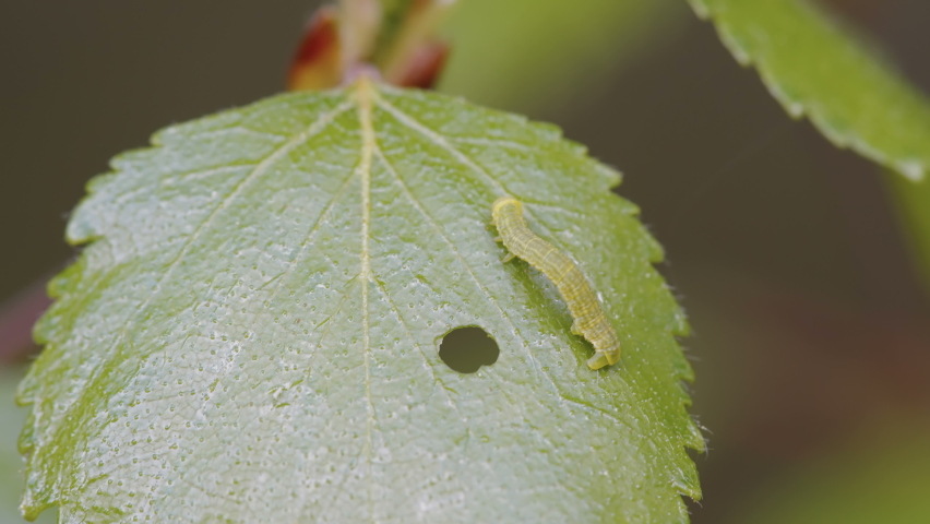 A small green caterpillar on the leaf of the plant with the small hole on it | Shutterstock HD Video #1073855552