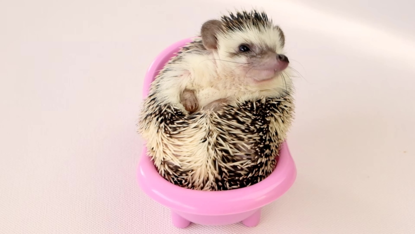Hedgehog in a pink bath on a beige background. Bathing hedgehogs concept.