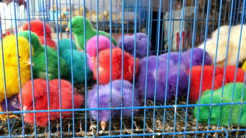 Cute colorful chicks in cage   Shutterstock HD Video #1074380318