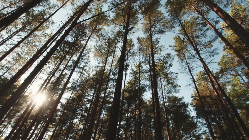 First person view summer coniferous forest with pine trees. Bottom view of tops. Camera slow motion right to left sideways along forest. Lithuania forest background cinematic.   Shutterstock HD Video #1074381443