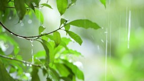 raining shower in the dense forest, close-up of rainfall in jungle, water droplets fixed on green leaves, Raining day in tropical forest. rain drop on leaf tree.Heavy Rain Falling On Tree Leaves