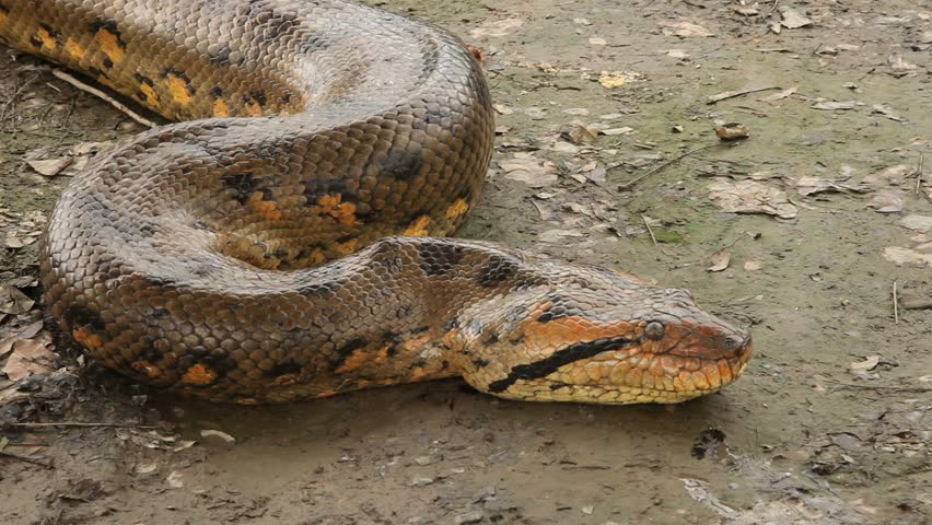 video footage of a big anaconda in the amazon basin in South America in Peru