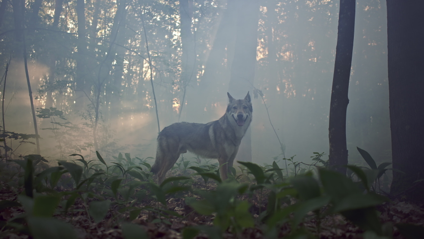 Silhouette of a gray wolf running and stopping in the woods. Slowed video of a wild dangerous animal hunter in the mystical nature in the morning.   Shutterstock HD Video #1074642686