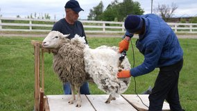 Agricultural farmer shearing the sheep. White wool shearing from the sheep.