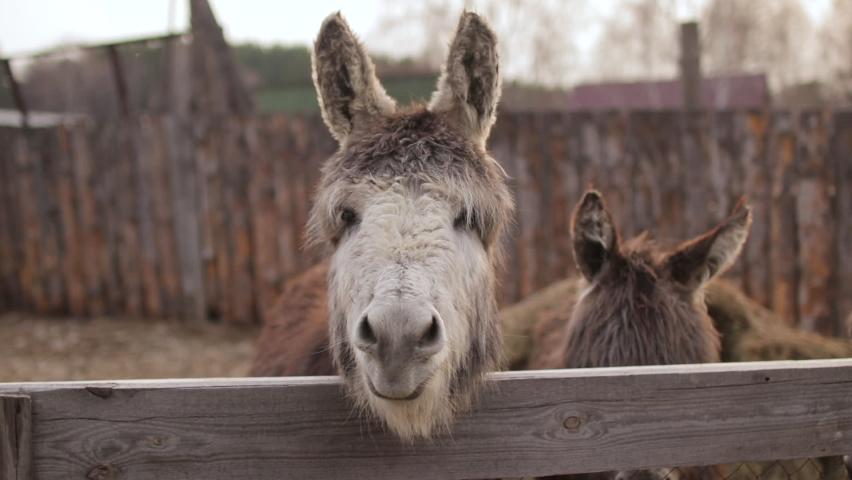 Domestic donkey in the corral in a farm   Shutterstock HD Video #1074684107