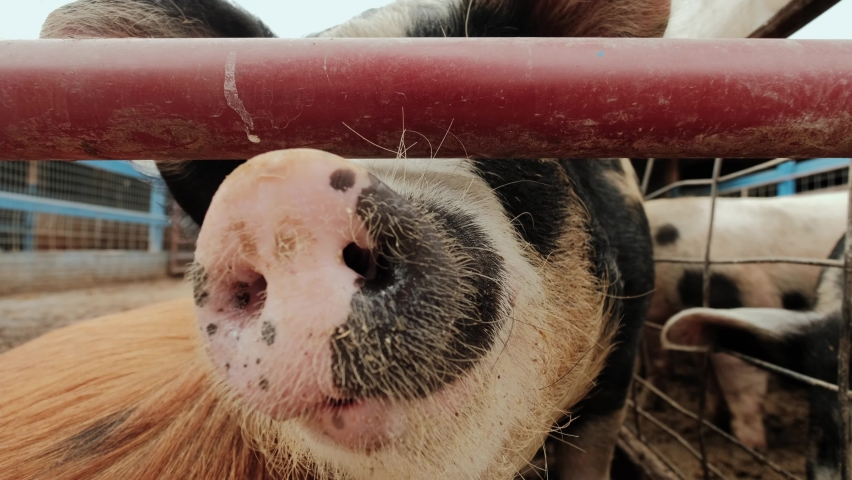 Close up. Pig farm, many pigs near the fence in farm   Shutterstock HD Video #1074702158