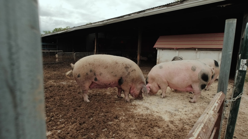 Wide footage of Pig farm, many pigs in the fence   Shutterstock HD Video #1074702164