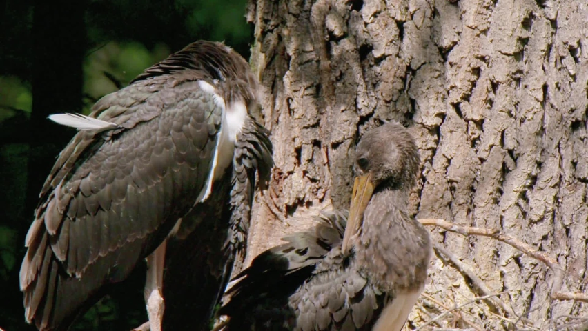 The black stork (Ciconia nigra) is a bird from the Stork family. It is listed in the Red Book. It feeds mainly on fish, small aquatic vertebrates and invertebrates, feeds in shallow waters