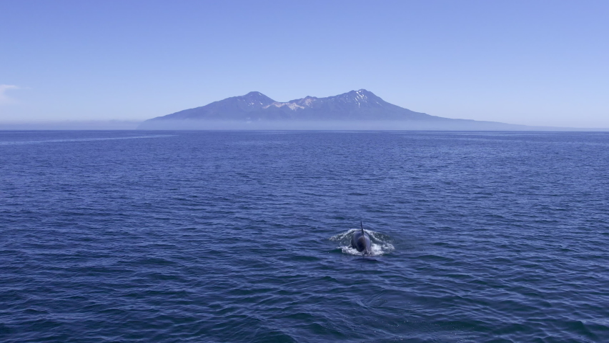 Big orca swimming in dark Pacific waters. Giant mammal on surface of oceanic water with beautiful mountains on background. Orca whale in it's natural habitat. Gigantic orca showing on ocean surface.   Shutterstock HD Video #1075564562
