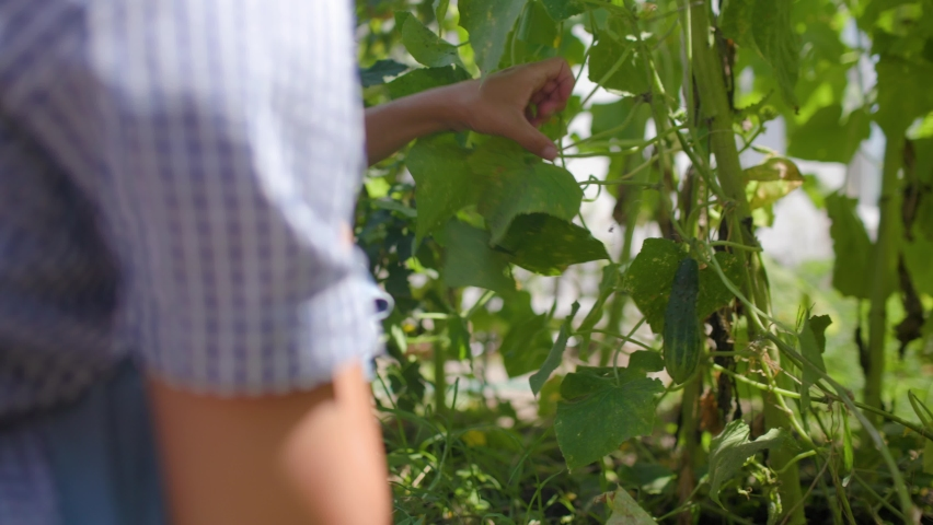 Woman Harvesting Vegetablesin Cucumber Her Garden | Shutterstock HD Video #1076791178