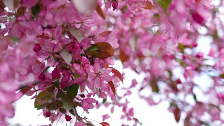 Close-up view 4k stock video footage of blooming fresh pretty delicate pink flowers growing on spring trees outdoors in city park. Abstract natural video background | Shutterstock HD Video #1076794487