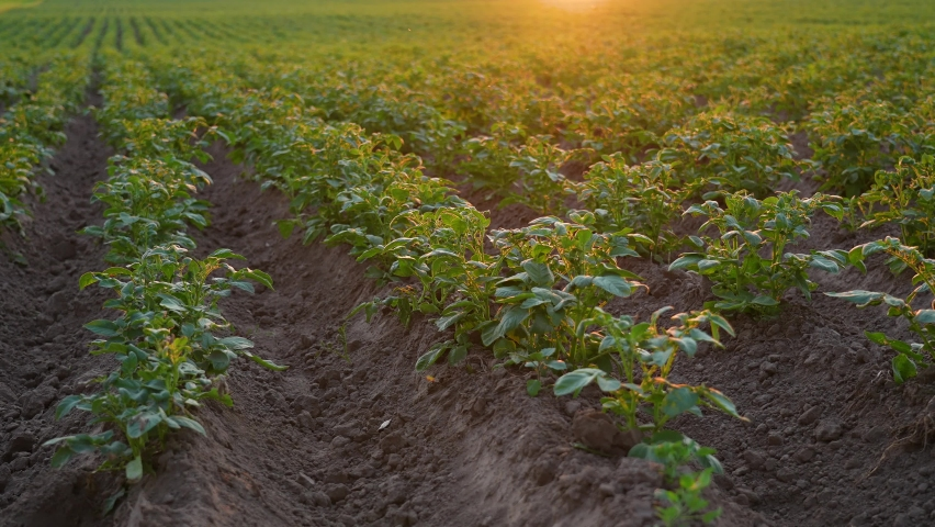 Close up view 4k stock video footage of green potato plantation growth in rural countryside sunset field. Rows of organic vegetables growing outside. Farming and agriculture concept | Shutterstock HD Video #1076794496