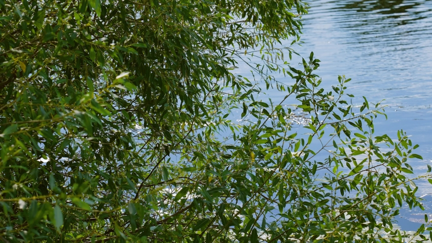 Green tree growing on shore of summer river. 4k video footage of scenic beautiful landscape of fresh foliage, blue sunny water | Shutterstock HD Video #1076794568