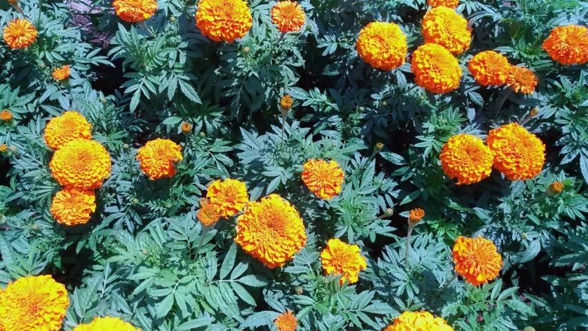 Marigold flower in a garden, panning | Shutterstock HD Video #1076795657