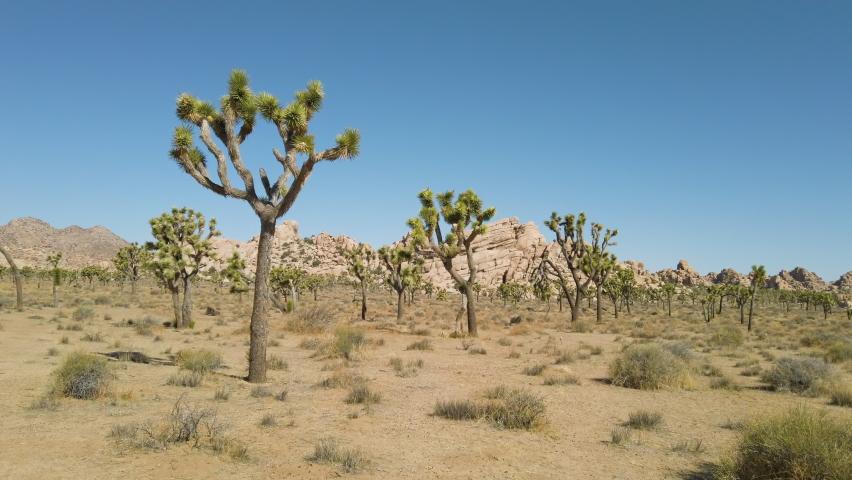 Joshua trees in the Joshua Tree National Park, California
