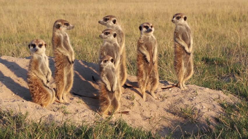 Meerkat family sunning themselves in the early morning sunshine,Botswana | Shutterstock HD Video #10772522