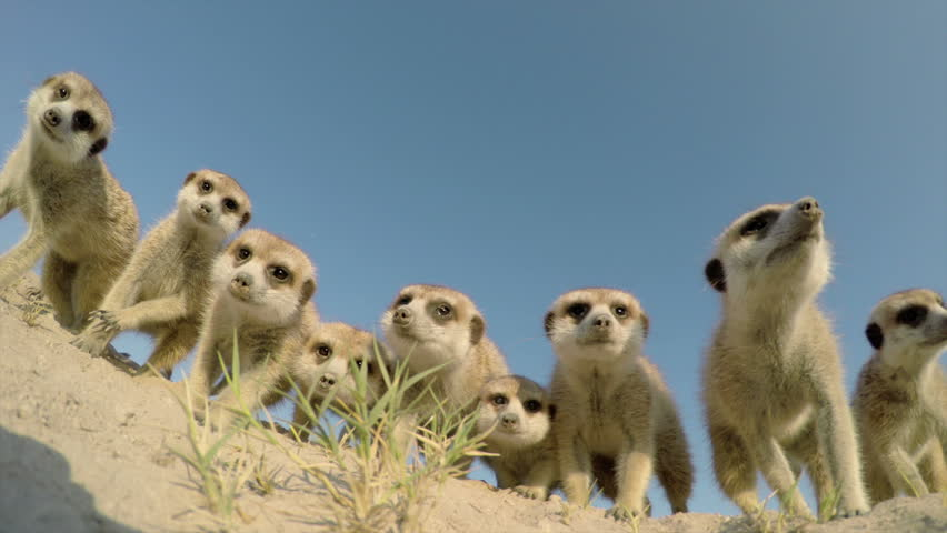 Low angle view of curious meerkats investigating the camera,Botswana | Shutterstock HD Video #10772546