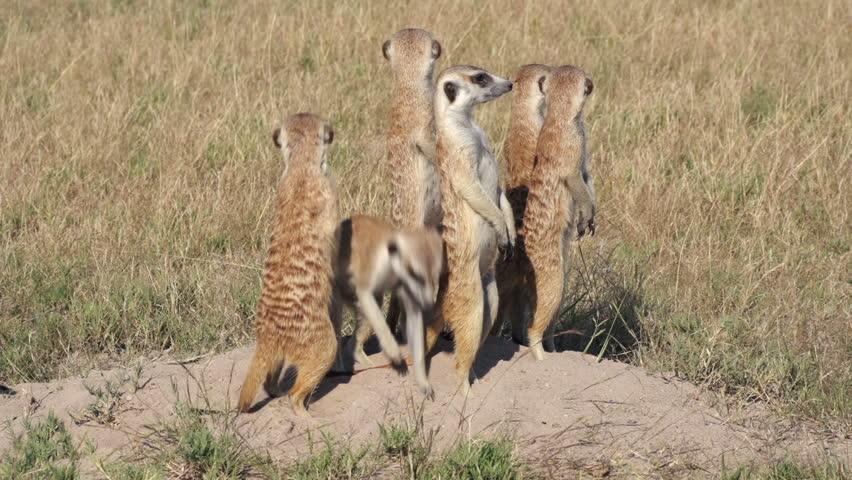 Meerkats on sentry duty while other meerkats clear entrance to burrow, Botswana | Shutterstock HD Video #10772564
