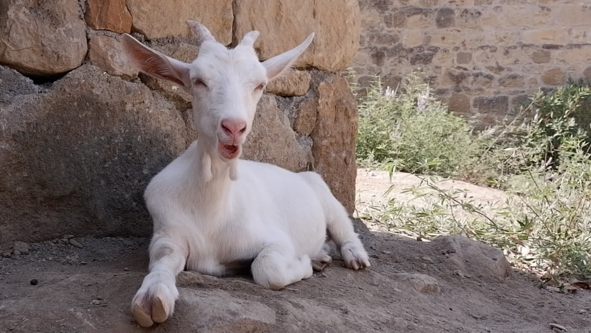 A young white goat lying on the ground in front of a wall. It lies on the ground in the shadow of the wall and ruminates. HD   Shutterstock HD Video #1079053280
