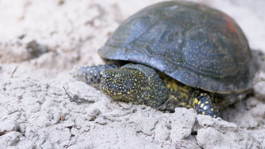 European pond turtle crawls along sandy bank of river. A large river turtle stuck head out of shell and slowly moves along sand. The powerful claws of animal pierce the loose ground in environment. Royalty-Free Stock Footage #1079683250