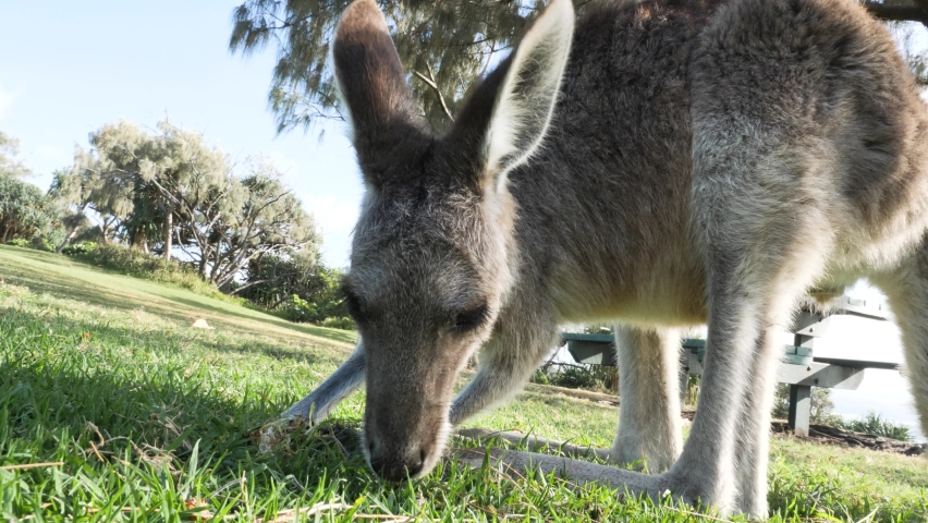 Close-up view of a joey Kangaroo eating grass in a coastal park. Animal behavior video | Shutterstock HD Video #1080036827