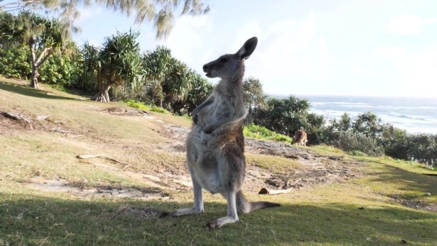Animal behavior of a young Kangaroo grooming itself on a coastal headland. | Shutterstock HD Video #1080073184