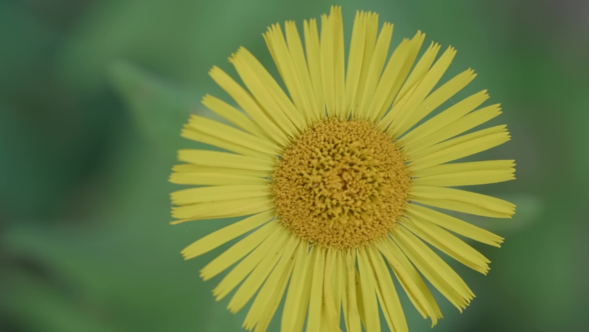 Closeup footage of common daisy flower with yellow petals on a green background | Shutterstock HD Video #1080083366