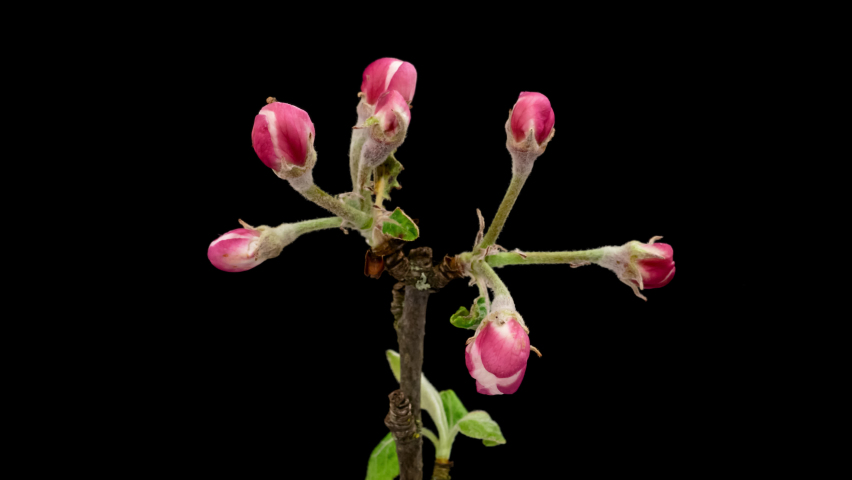 Macro time lapse apple tree branch blooming on pure black background | Shutterstock HD Video #1080837929
